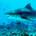 Tiburon tigre en las Maldivas